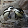 Penguins grooming each other