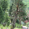 Gnarly old tree, Betty Ford Alpine Gardens, Vail, Colorado