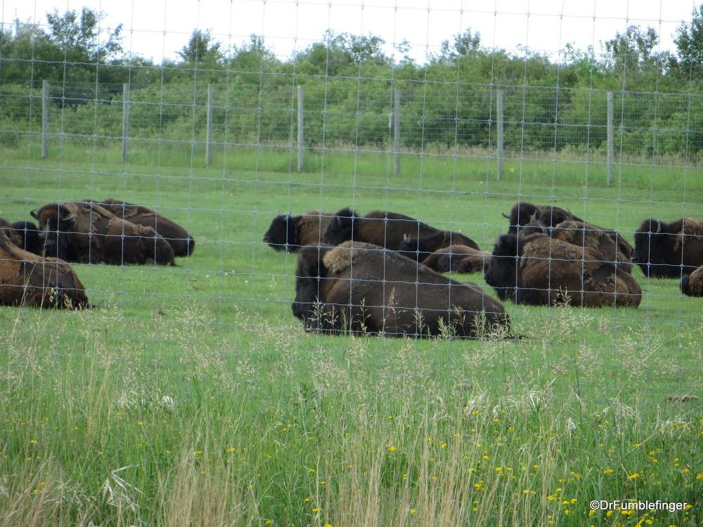 Bison herd, Fort Whyte Center, Winnipeg
