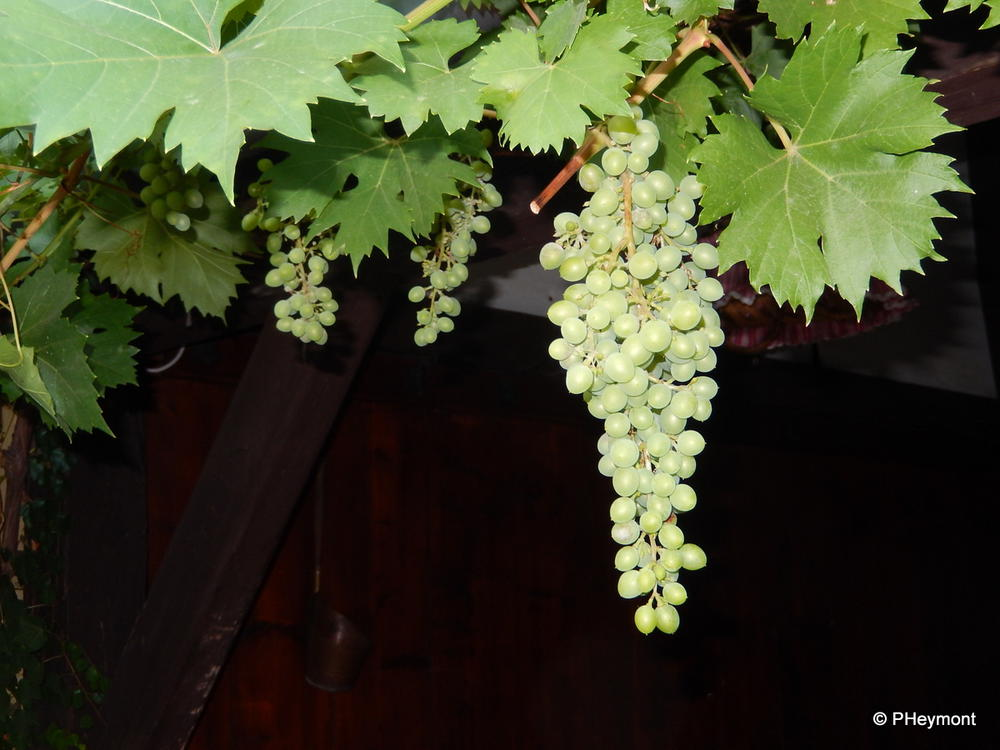 Riesling in the making