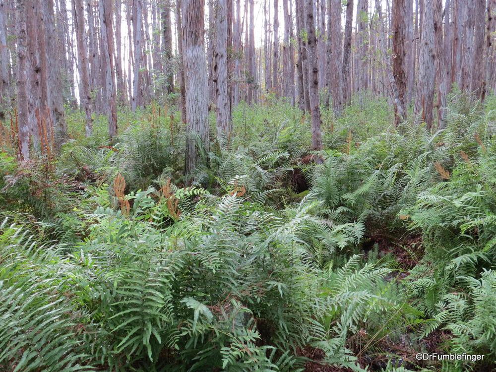 Cypress swamp, Florida