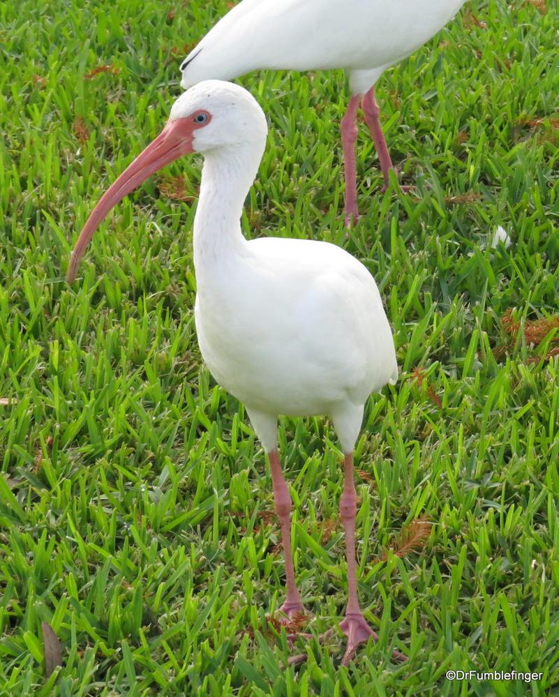American White Ibis, Florida