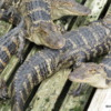 Gators at Gatorland in Orlando
