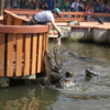 Feeding time at Gatorland, Orlando.  It's quite impressive to see the gators jump for food