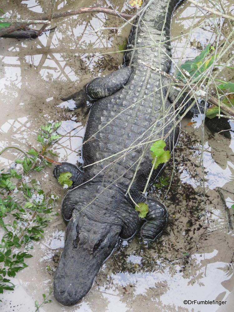 Alligator, Gatorland in Orlando
