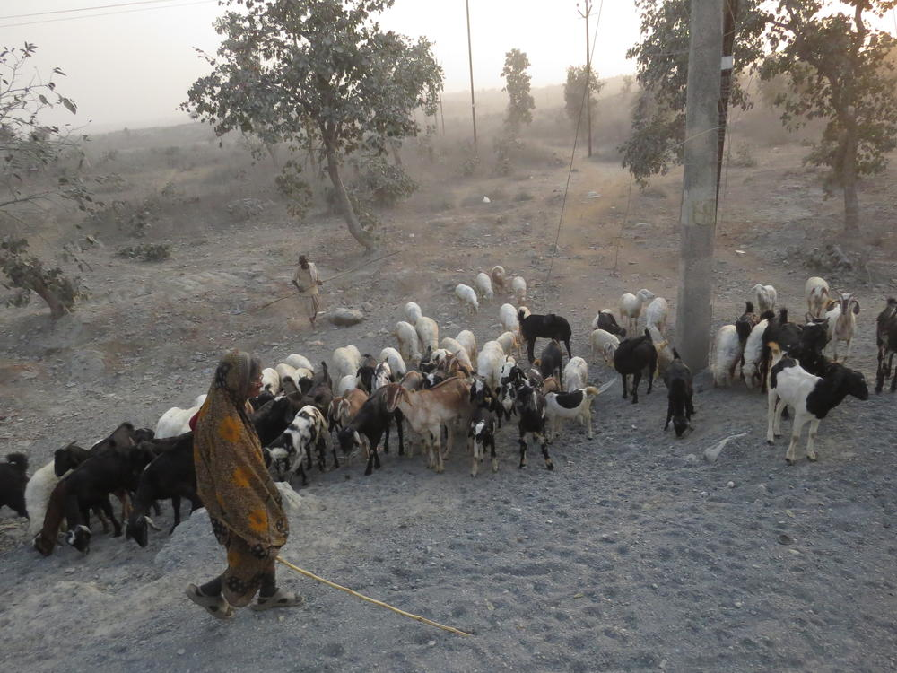 Shepherd and his flocks of goats and sheep, Rajasthan