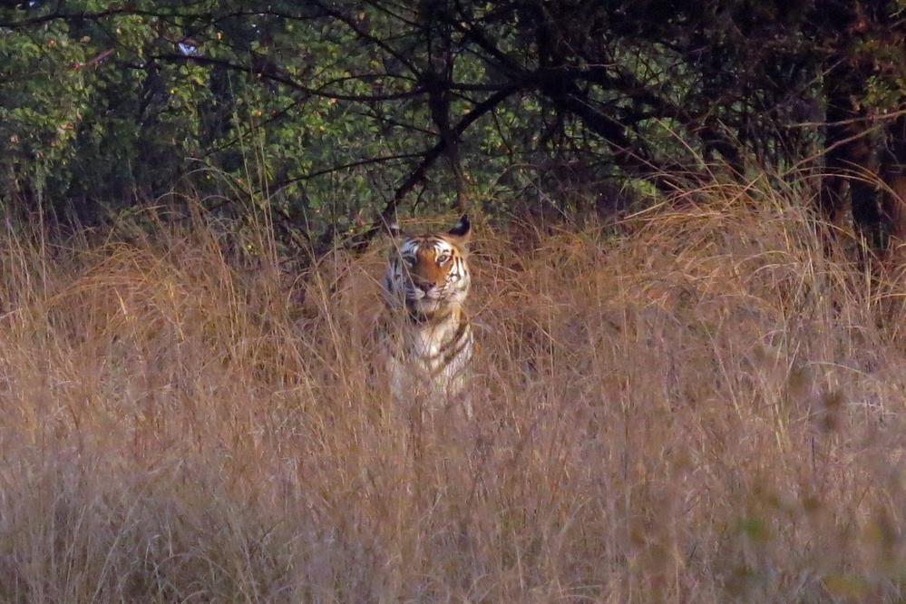 And our first up close glimpse of a Bengal Tiger, Panna National Park