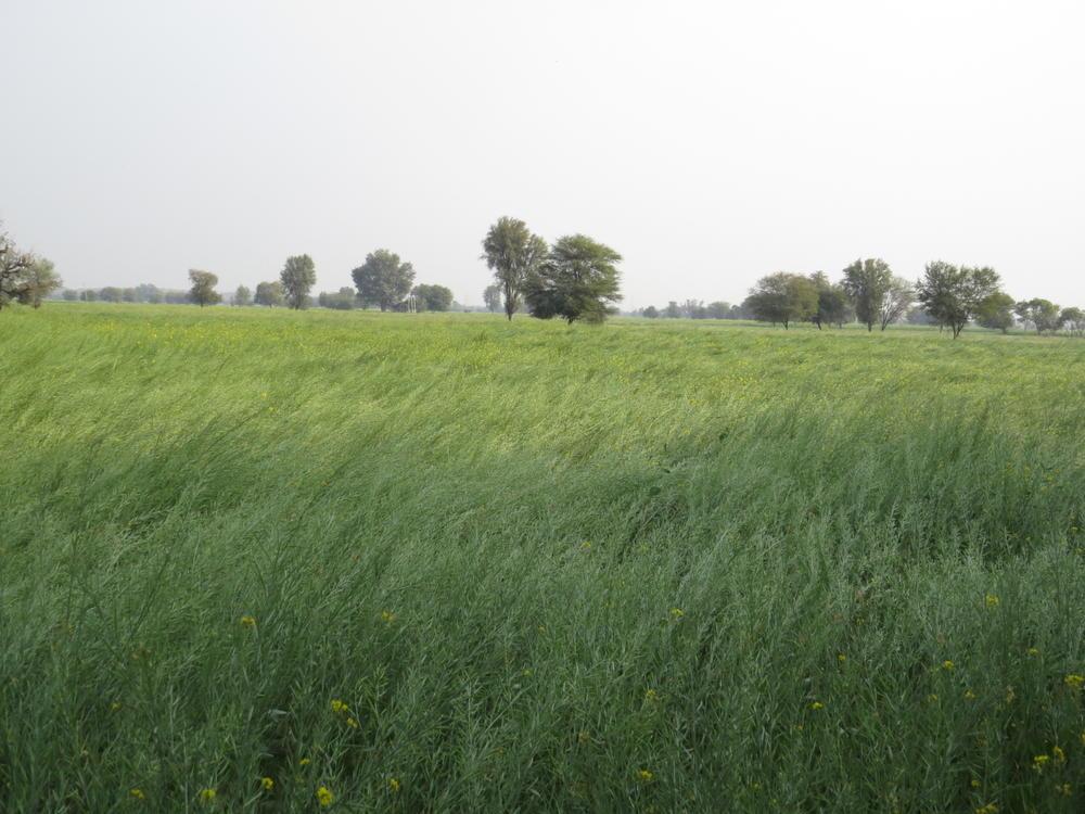 The rich farmland of Rajasthan.  A field of canola