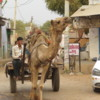 Camels are still commonly use for transporation in rural India, especially Rajasthan