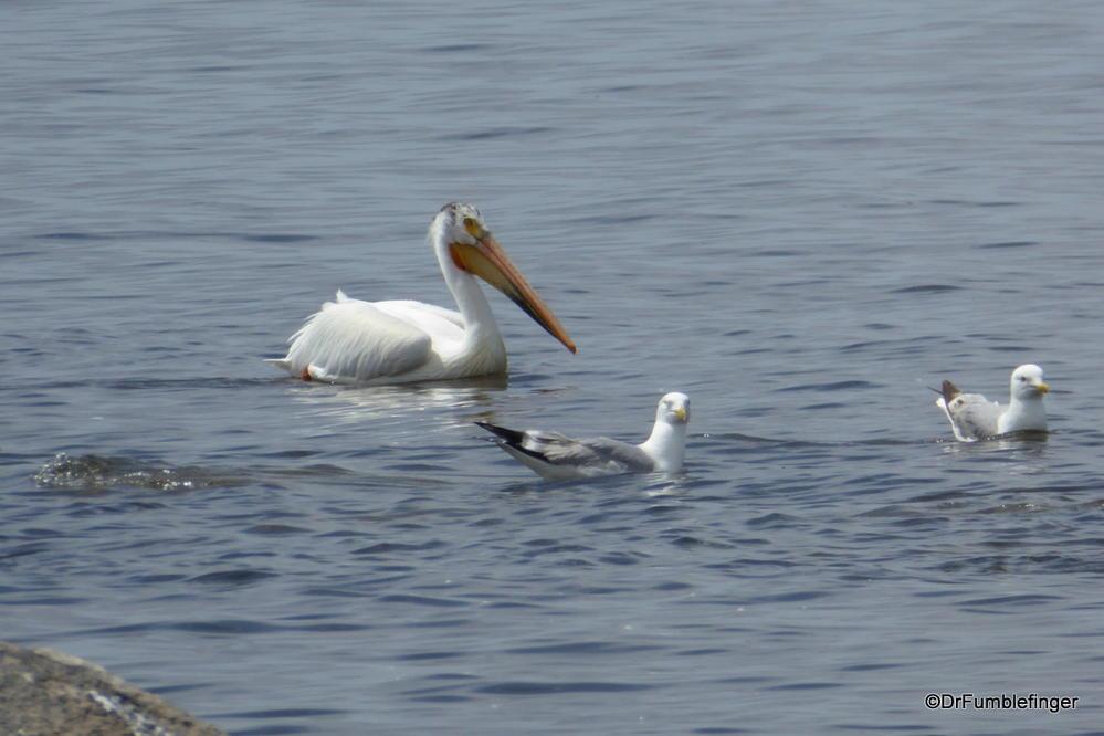 American White Pelican and seagull, Lake Winnipeg