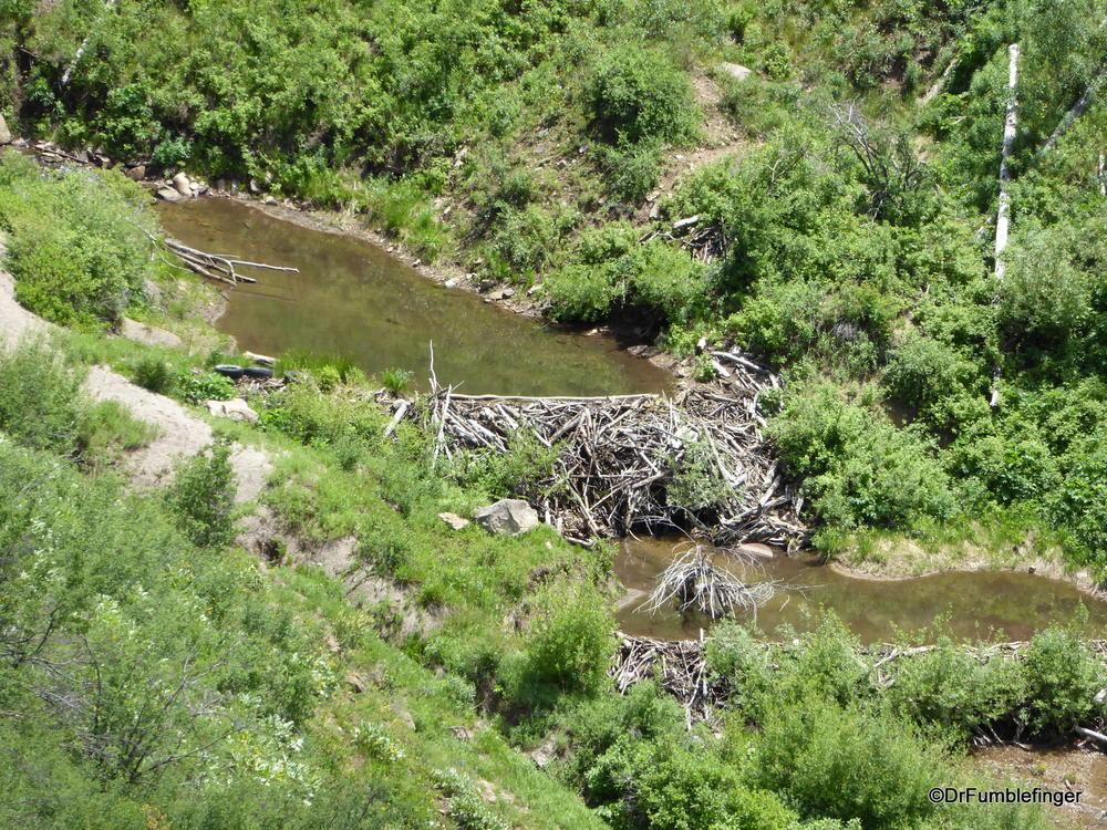Beaver dam on creek near Gilman, Colorado