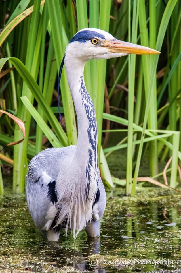 Grey Heron, Chirton Dene, North Shields.