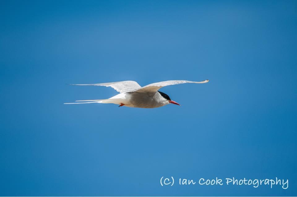Tern, Warkworth, Northumberland.