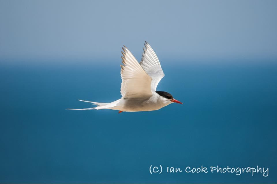 Tern, Warkworth, Northumberland.