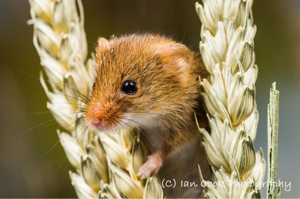 It's harvest time, so here's a cute little mouse for you!