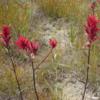 Indian paintbrush, a wildflower at Emerald Lake, Yoho National Park