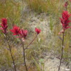 Indian paintbrush, a wildflower at Emerald Lake, Yoho National Park