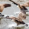 Canada Geese, River Aln, Alnmouth, Northumberland