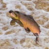 Atlantic Salmon 'running' the river Tyne at Hexham, Northumberland.