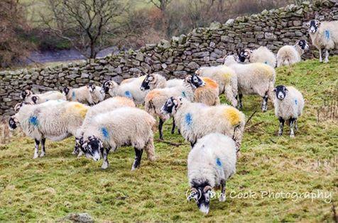 Swaledale Sheep, Black Hill, Muker, Swaledale, North Yorkshire.