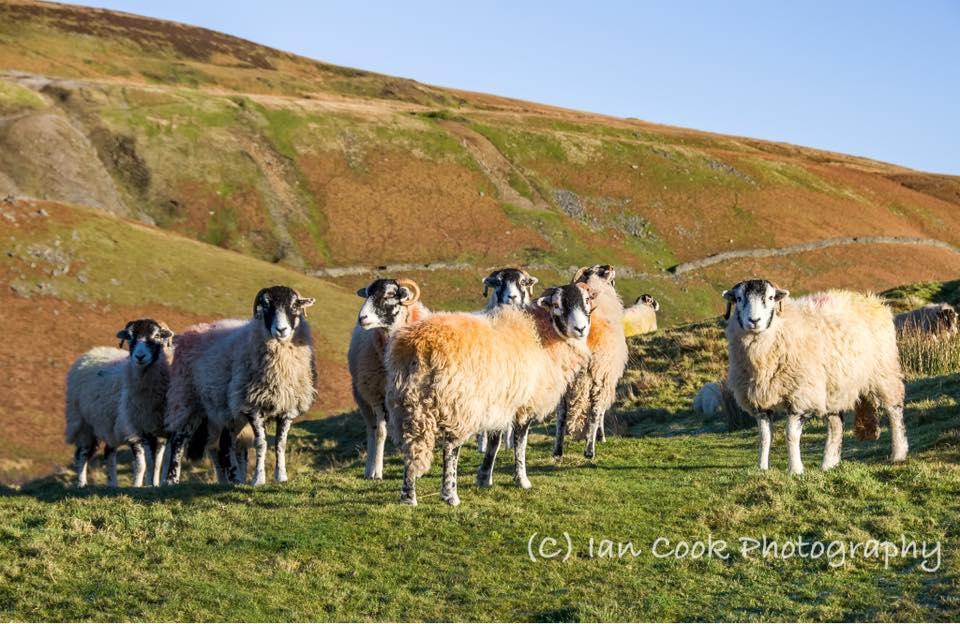 Swaledale Sheep, Kisdon Hill, Swaledale, North Yorkshire.