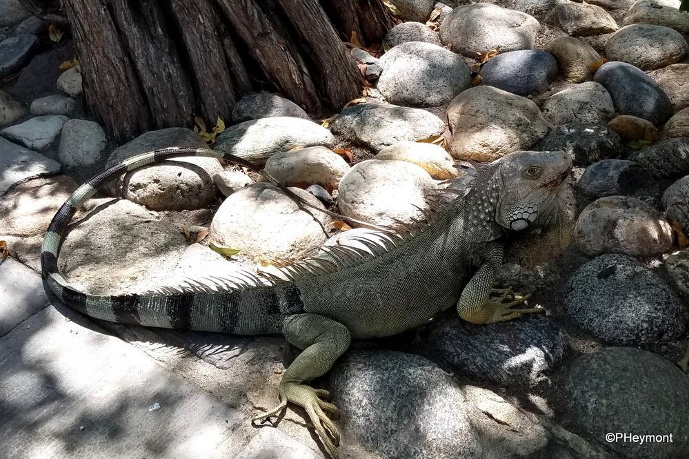 Iguana, well-disguised