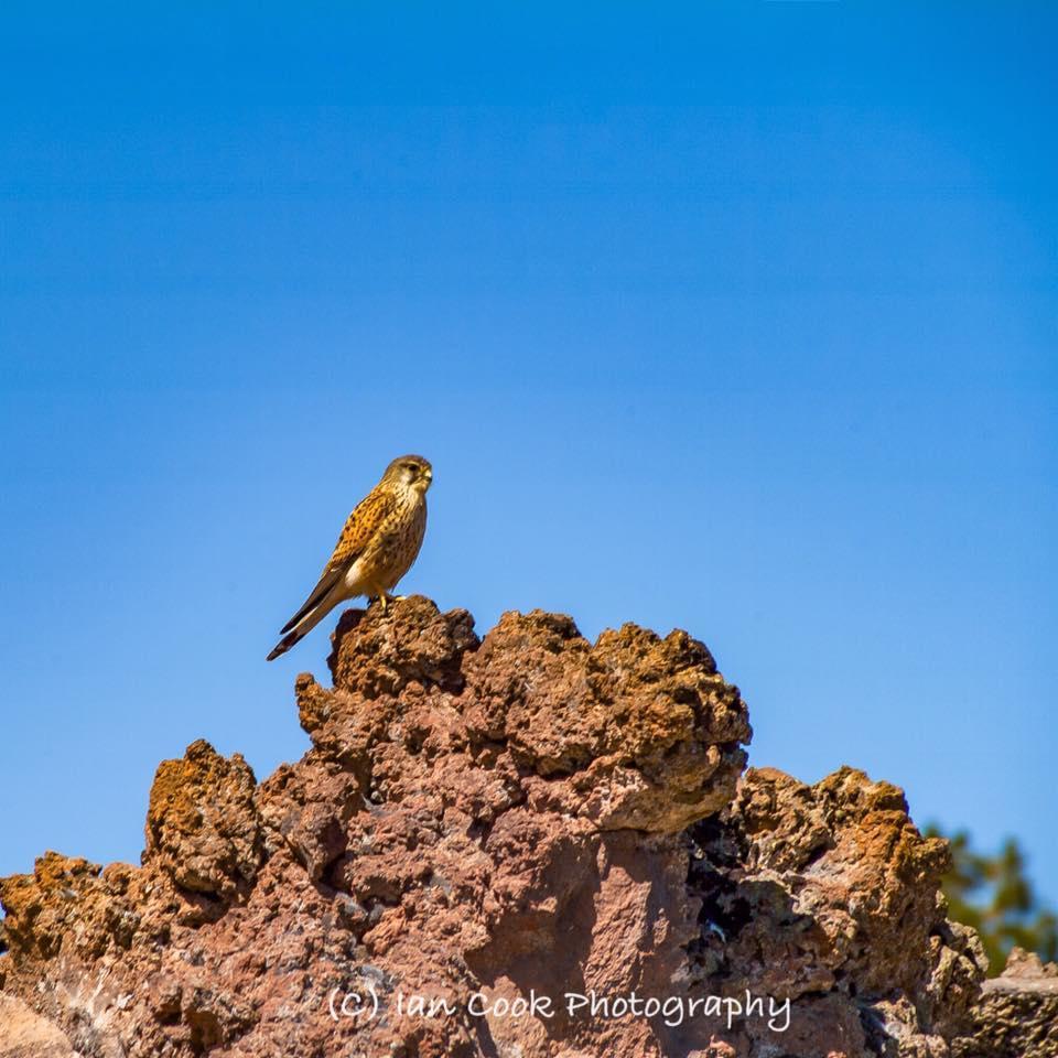 Canarian Kestrel, Las Canadas Del Teide, Tenerife, Canary Islands