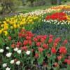 Tulips on parade
