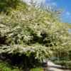 Blossom tree in The Walled Garden, The Alnwick Garden, Northumberland.