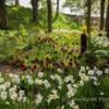 Tulips, The Alnwick Garden, Northumberland.