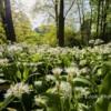 Ramsons, The Duchesses Walk, Alnwick Garden Northumberland.