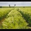 Barley field, Warkworth, Northumberland