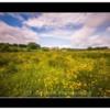 Buttercup Meadow. Alnwick Farm, Alnwick Castle Northumberland.