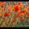 Poppies, Northumberland.