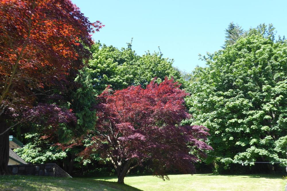 Japanese Maples, Stanley Park, Vancouver