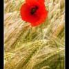 Poppies, Northumberland