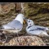 Adult Kittiwake regurgitating food for Juvenile, Seahouses, Northumberland.
