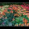 Alstroemeria. The Alnwick Garden Northumberland.
