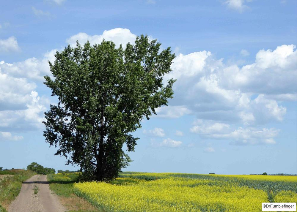 Lone tree and Canola field, Manitoba
