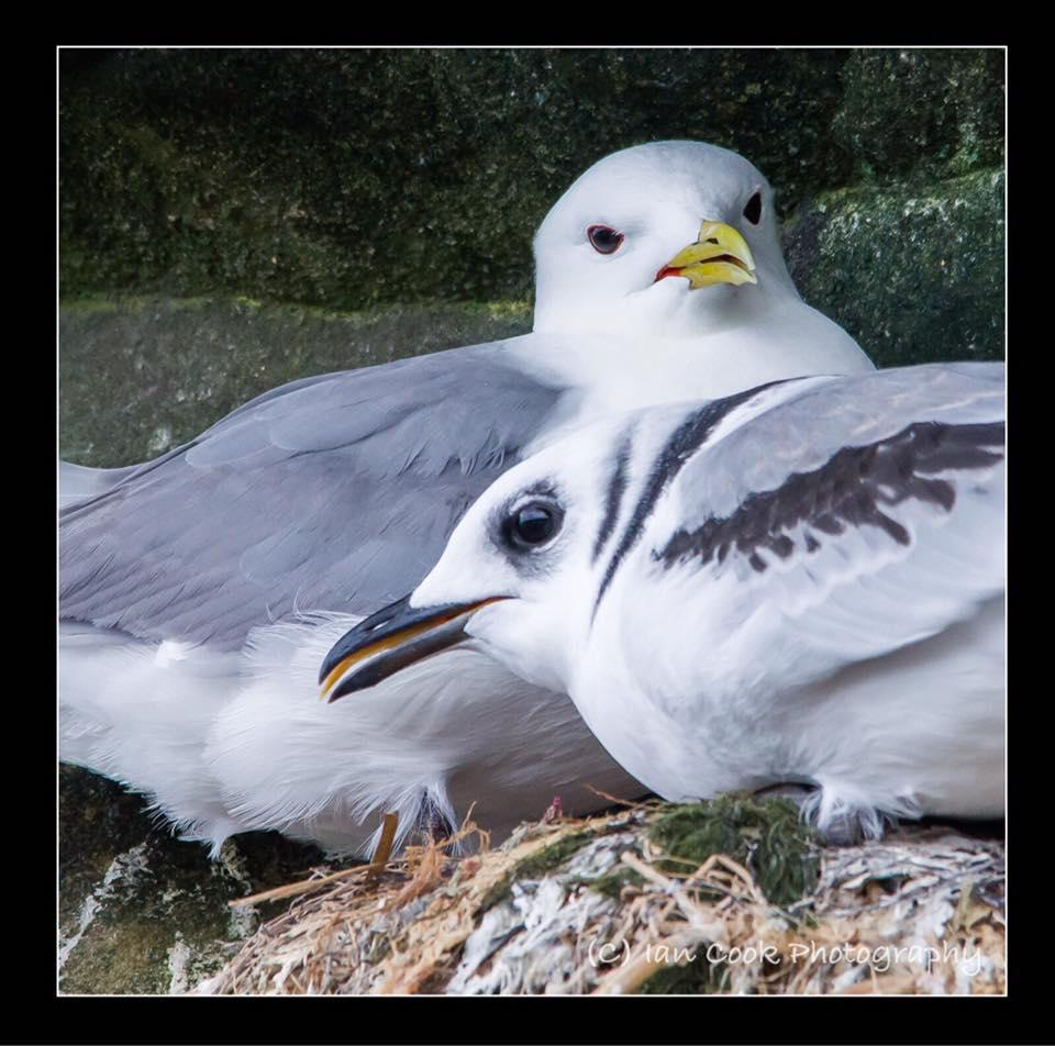 Kittiwakes, Braidcarr Point, North Sunderland, Northumberland. Juvenile in foreground adult bird at the rear.