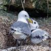 Kittiwake Colony Braidcarr Point, North Sunderland, Northumberland.  Parent bird feeding chick by regurgitating food.
