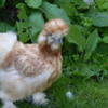Do the funky chicken!