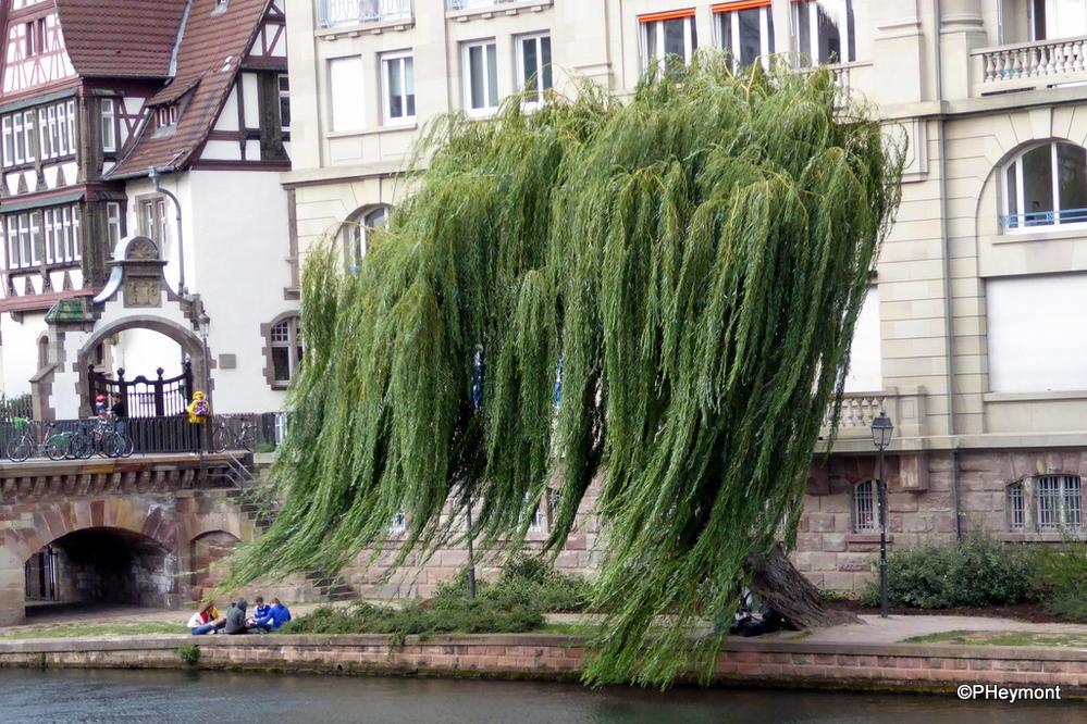 Weeping Willow, Strasbourg