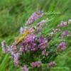 Grasshopper, Kimmer Lough, Northumberland.