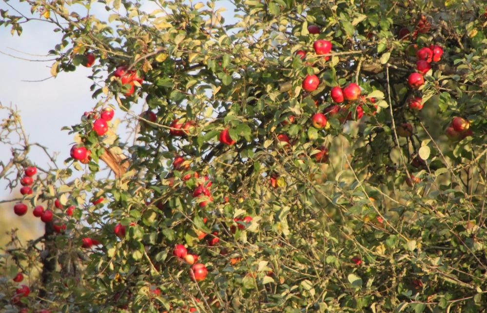 It's apple time in the Cotswolds, England