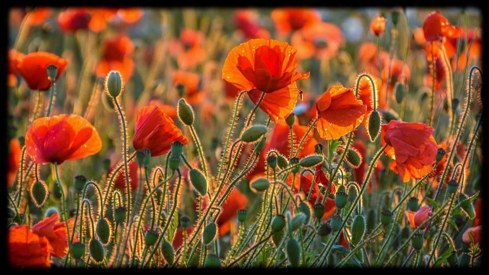 Poppies, Warkworth, Northumberland