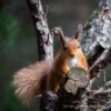 Red Squirrel, Pow Hill, County Durham.