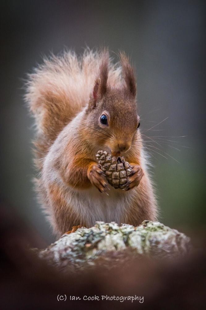 Red Squirrel. Scottish Highlands.