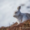 Mountain Hare, Scottish Highlands.
