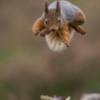 Red Squirrel, Scottish Highlands